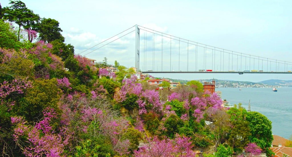 Judas Tree by The Bosphorus